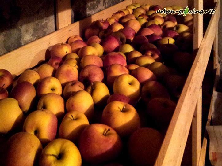 Äpfel Anfang Januar - www.urban-growing.net