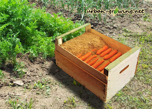 Karotten richtig lagern