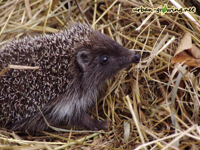 Igel im Herbst - www.urban-growing.net