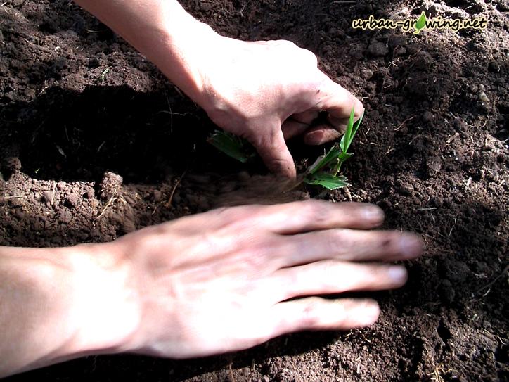 Einpflanzen ein neues Beet anlegen  - www.urban-growing.net