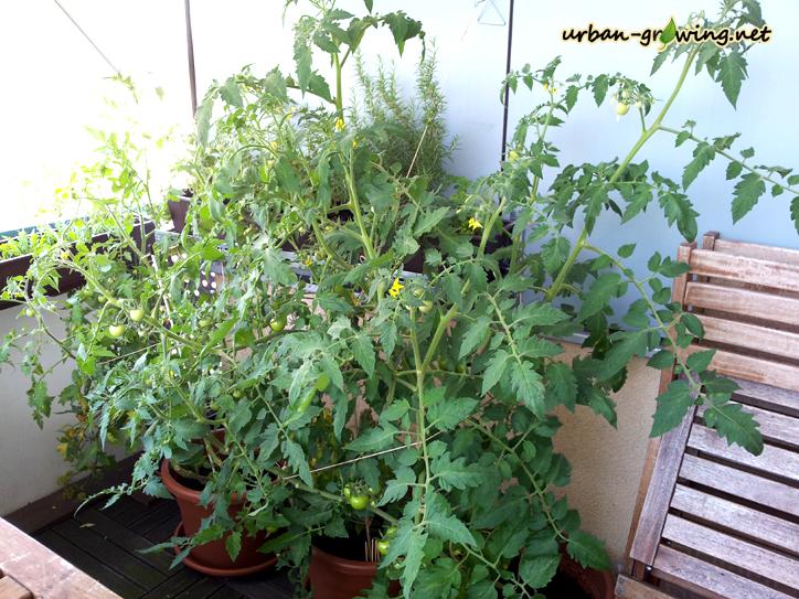 tomaten z chten paradeiser ziehen eigene. Black Bedroom Furniture Sets. Home Design Ideas