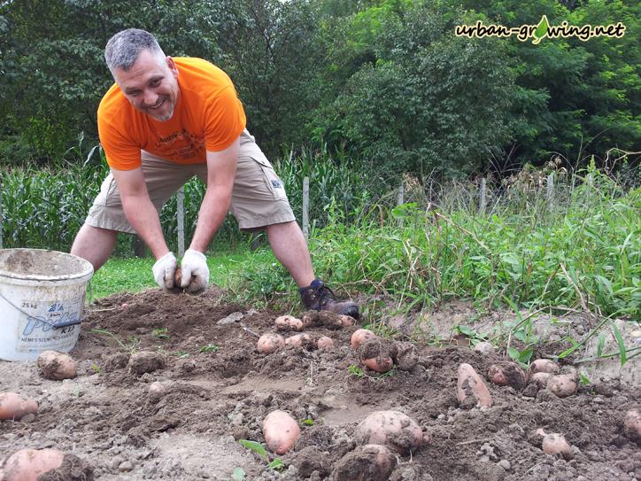 Kartoffelernte - www.urban-growiing.net