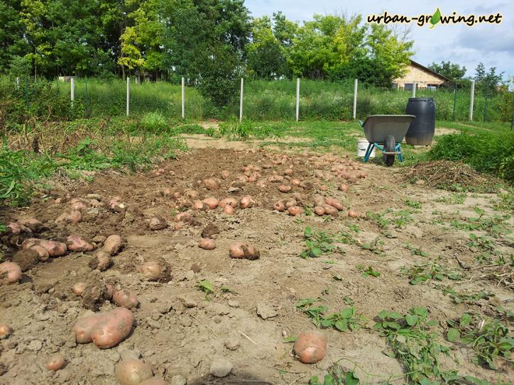 Bio Kartoffeln - www.urban-growiing.net