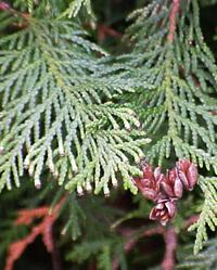Lebensbaum-Thuja