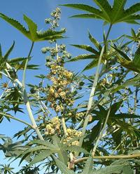 Wunderbaum