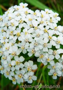 Blühende Schafgarbe