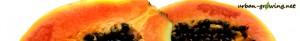 Papaya - www.urban-growing.net