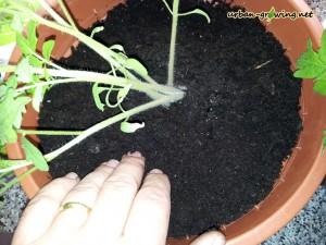 Tomaten züchten - www.urban-growing.net