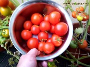 Tomaten züchten und ernten - www.urban-growing.net