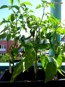 Chilisamen gewinnen - urban-growing.net