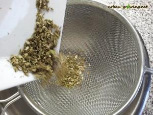 Maggikraut Samen bekommen - www.urban-growing.net