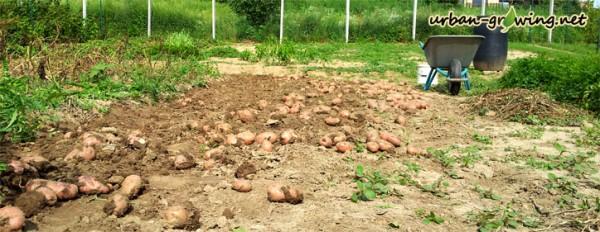 Kartoffelernte - www.urban-growing.net